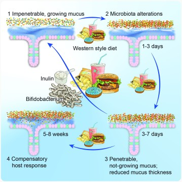 Bifidobacteria or Fiber Protects against Diet-Induced Microbiota-Mediated Colonic Mucus Deterioration
